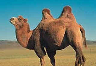 How importing camels help Iran insurers pay less compensation?