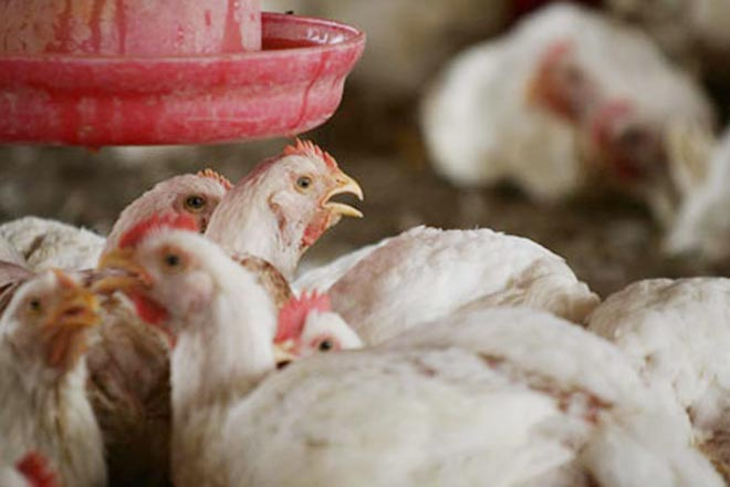 Azerbaijan Imposes Ban on Import of Poultry Products from  Turkey and   Ukraine