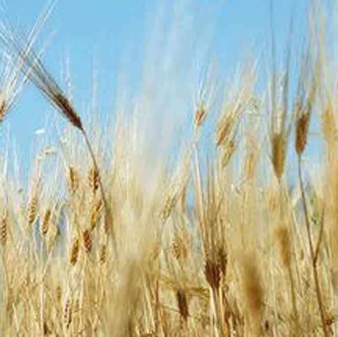 Tax Privileges May be Provided for Grain Importers: Agriculture Ministry