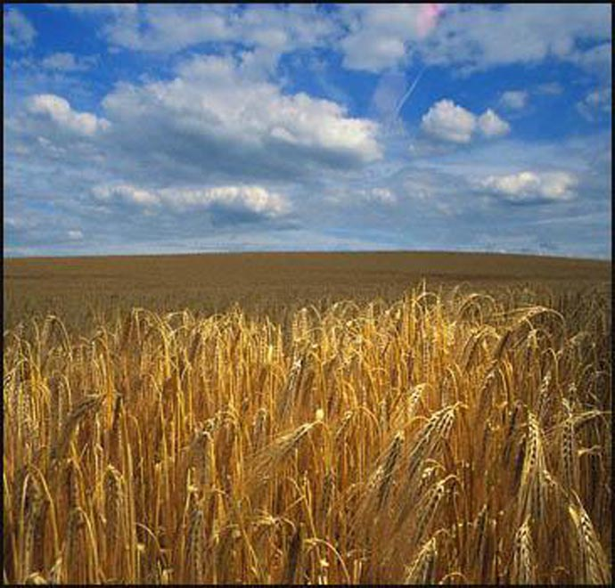 Volume of wheat purchased in Iran announced