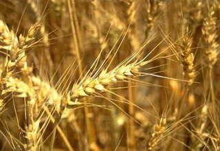 Wheat harvest starting in Iran