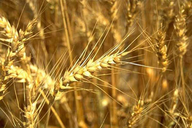 Iran announces volume of purchased wheat