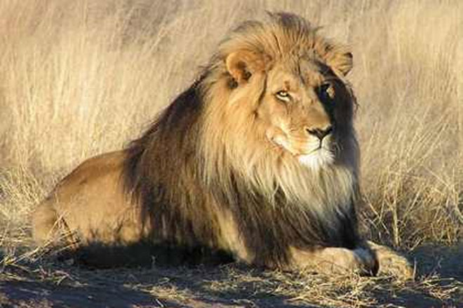 Ukrainian zookeeper to live in cage with 2 lions