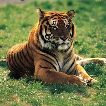 Tiger in New York zoo tests positive for COVID-19