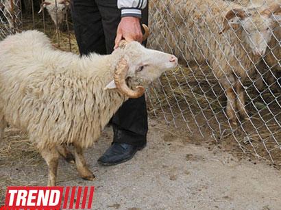Azərbaycanda diri heyvanlar və heyvandarlıq məhsullarının istehsalçı qiymətləri ucuzlaşıb