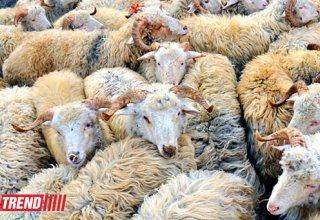 "В 23 точках Баку организованы ярмарки по продаже овец на ""Гурбан байрам"""