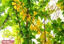 """Bakının """"qızıl payızı"""" (FOTO) - Gallery Thumbnail"""
