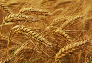 Iran's Fars Province to increase wheat production