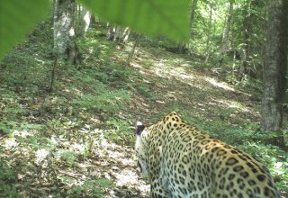 Another leopard found in Azerbaijan's Hirkan National Park
