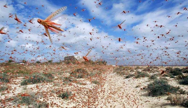 India deploys helicopter, 12 drones to stop fast-spreading locusts