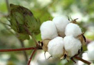Turkmenistan starts sowing cotton