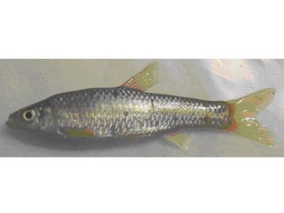 Two new fish species found in Azerbaijan (PHOTO)