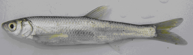 Two new fish species found in Azerbaijan (PHOTO) - Gallery Image