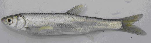 Two new fish species found in Azerbaijan (PHOTO) - Gallery Thumbnail