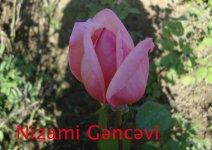 Azərbaycanda qızılgülün 9 yeni sortu yetişdirilib (FOTO) - Gallery Thumbnail