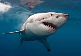 Пятиметровая акула шокировала жителей западной провинции Турции