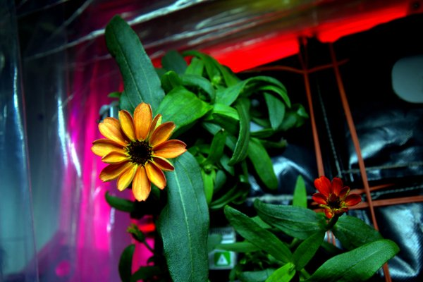Cosmic flower: first blossom in space on board ISS (PHOTO) - Gallery Image