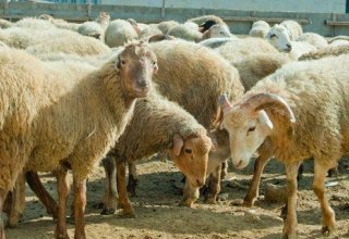 Turkmenistan implements plan to increase small cattle livestock