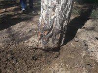 В Баку ресторатор оштрафован на крупную сумму за уничтожение 69 деревьев (ФОТО) - Gallery Thumbnail