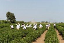 "President Ilham Aliyev views ""Yashil Chay"" plantation in Lankaran (PHOTO) - Gallery Thumbnail"