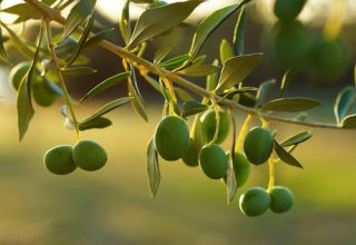 Europe to supply Asian countries with olive products through Georgia