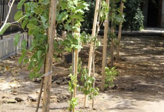 Orchards for low-income families planted in Azerbaijani districts