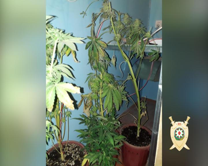 Binədə öz evində narkotik tərkibli bitkilərin kultivasiyası ilə məşğul olan şəxs saxlanılıb  (FOTO) - Gallery Image