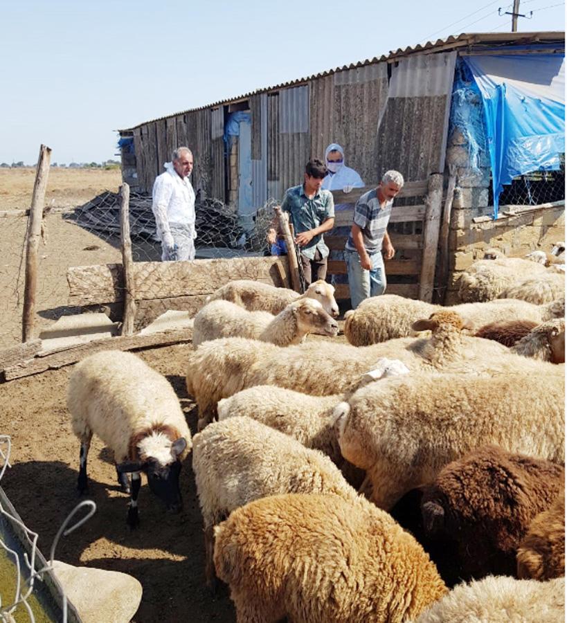 В Азербайджане около двух миллионов голов мелкого рогатого скота прошли вакцинацию (ФОТО) - Gallery Image