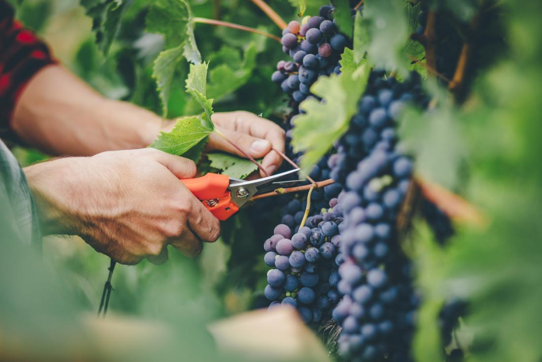Azerbaijani Agriculture Ministry opens tender to buy grape planting material