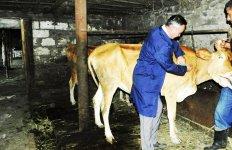 В Азербайджане около 2,5 млн голов крупного рогатого скота прошли вакцинацию против нодулярного дерматита - Gallery Thumbnail