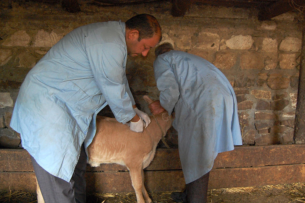 В Азербайджане около 2,5 млн голов крупного рогатого скота прошли вакцинацию против нодулярного дерматита - Gallery Image