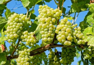 Uzbekistan boosts grape exports to Russia in September