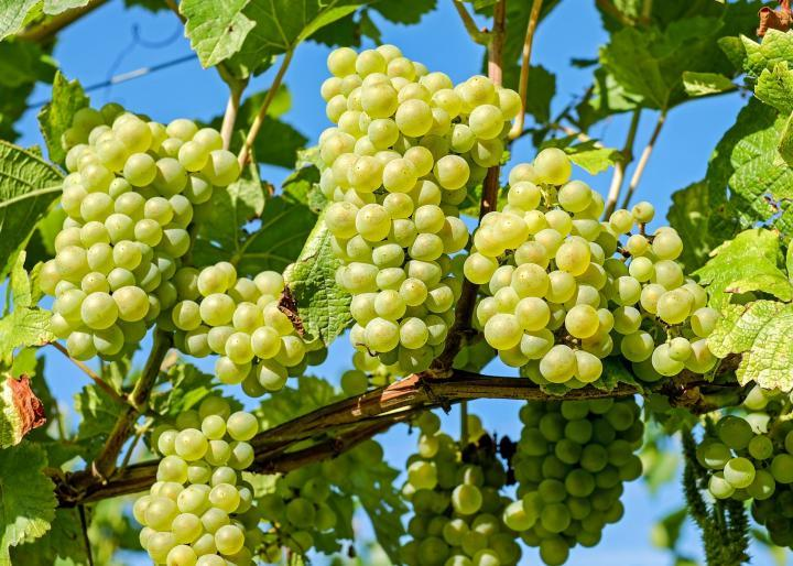 Malayer's grape registration advantage for Iran
