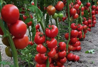 Uzbekistan to build modern hydroponic greenhouses for growing tomatoes
