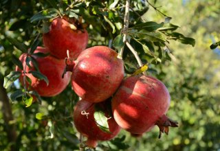 Georgia increases pomegranate cultivation