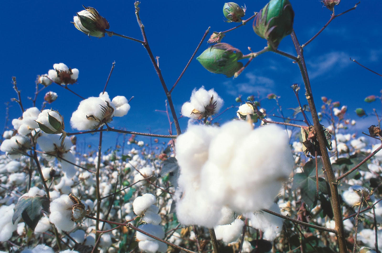 Purchase prices for cotton increase in Azerbaijan
