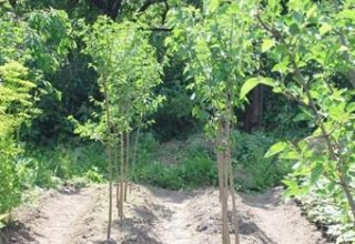 More trees to be planted in Azerbaijan with participation of volunteers, public support