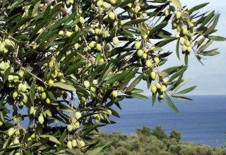 Georgia strengthens its position in olive production
