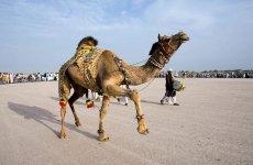 Конкурс красоты верблюдов в Катаре (ФОТО) - Gallery Thumbnail