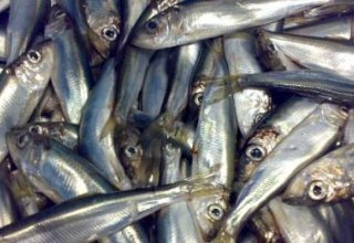 Iran announces volume of sprat caught in Caspian Sea