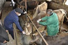 Bərdədə heyvanlar arasında profilaktik peyvəndləmə tədbirləri davam etdirilir (FOTO) - Gallery Thumbnail