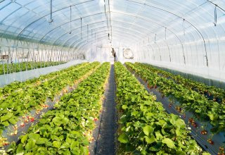 Georgian GlenBerries company launches arrangement of greenhouses for growing vegetables and fruits