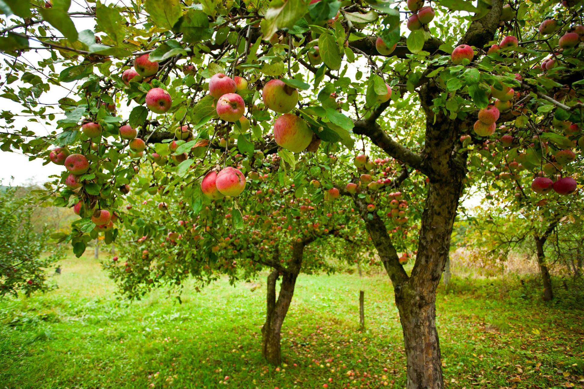 Georgia reveals volume of exported apples