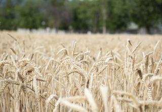 Ministry: Grain shortage not expected in Azerbaijan