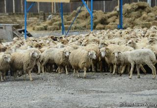 Turkmenistan issues preferential loan to entrepreneurs for sheep purchase