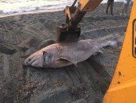 Акула, пойманная у берегов турецкой провинции Измир, шокировала жителей (ФОТО) - Gallery Thumbnail