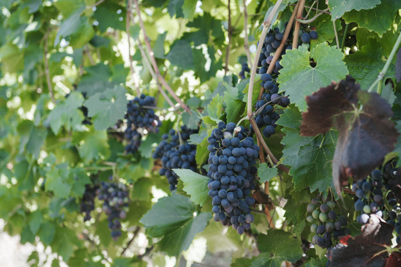 Georgia increases export of wine of fresh grapes to Russia
