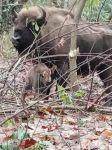 В Шахдагском  национальном парке  родился детеныш зубра (ФОТО/ВИДЕО) - Gallery Thumbnail