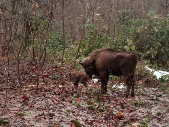 В Шахдагском  национальном парке  родился детеныш зубра (ФОТО/ВИДЕО)