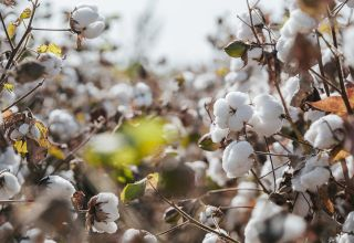 Uzbekistan eyes implementation of int'l standards in cotton production